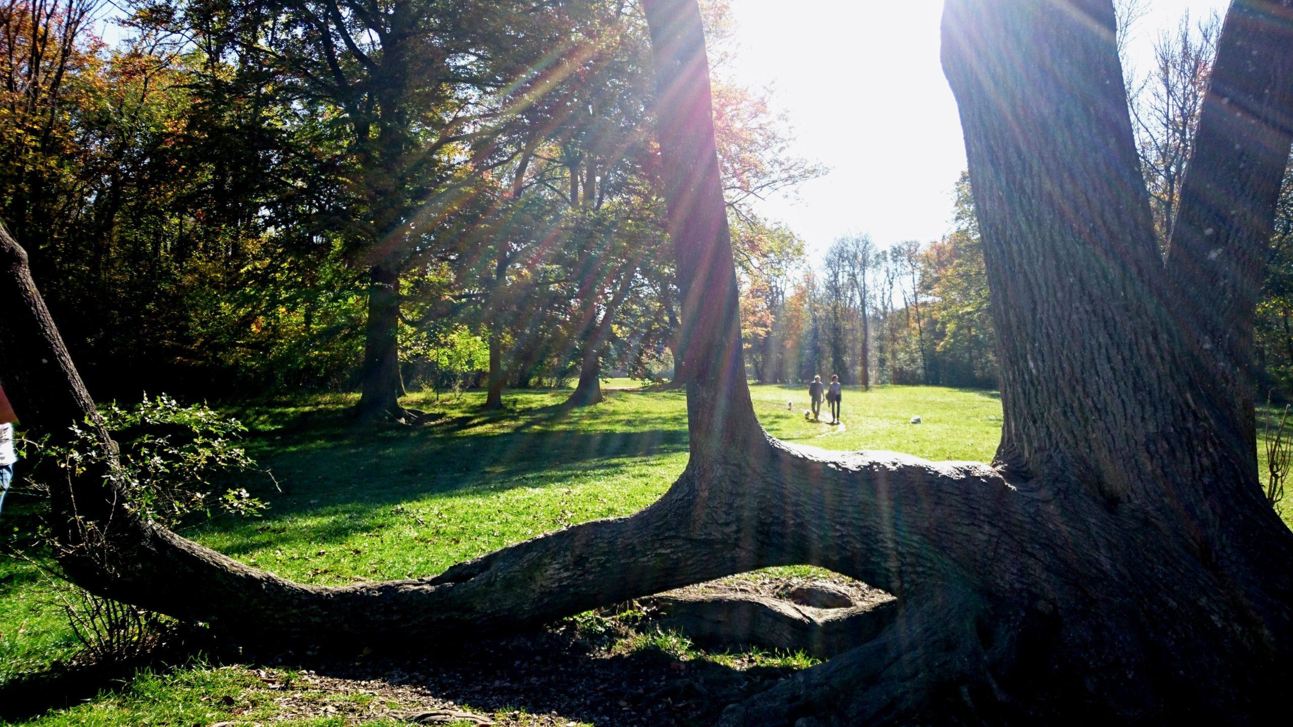 Baum in der Hirschau, München